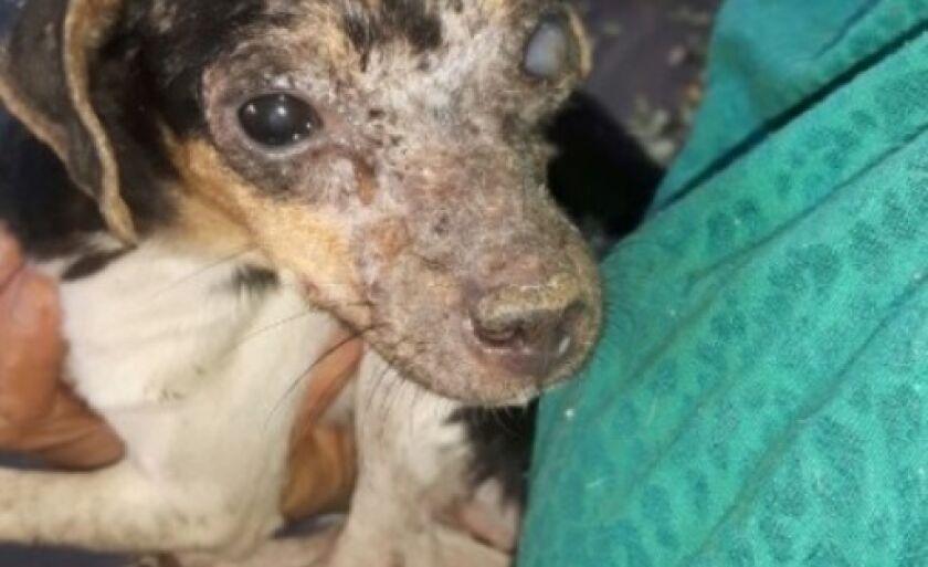 Um dos cães encontrado abandonado está cego
