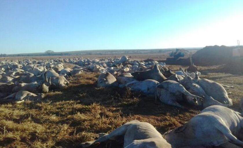 Mais de mil cabeças de gado morrem em fazenda de Água Clara
