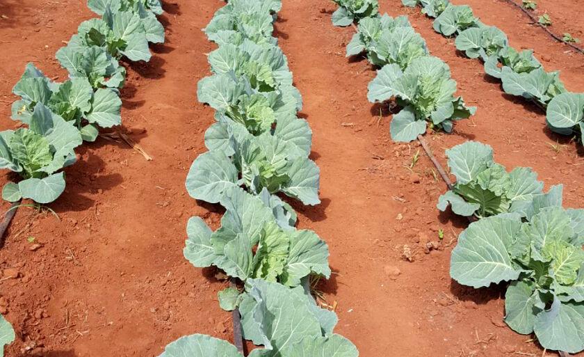 oje o Assentamento Serra já tem 3 mil pés de tomate plantados com alguns já em colheita
