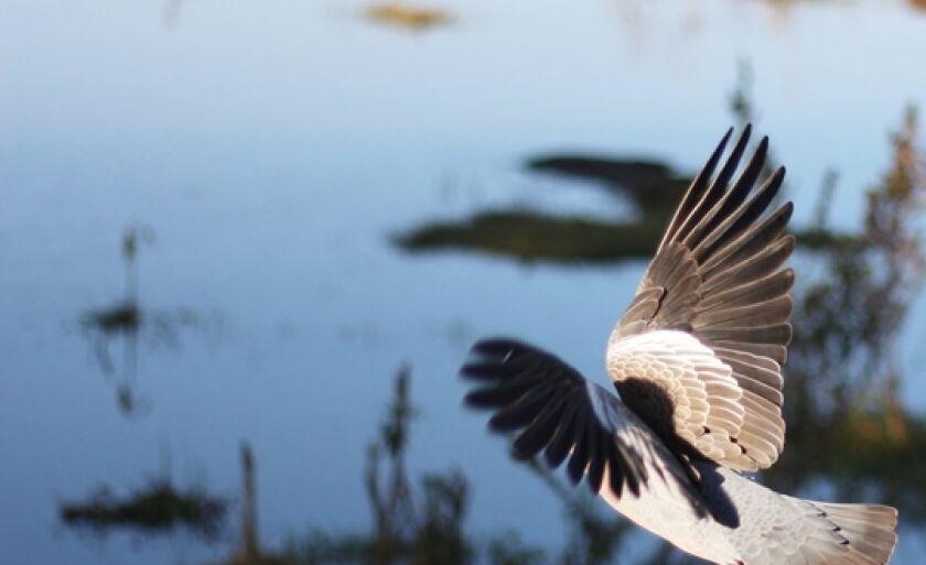 Pássaro em voo rasante na Lagoa Maior, em Três Lagoas.