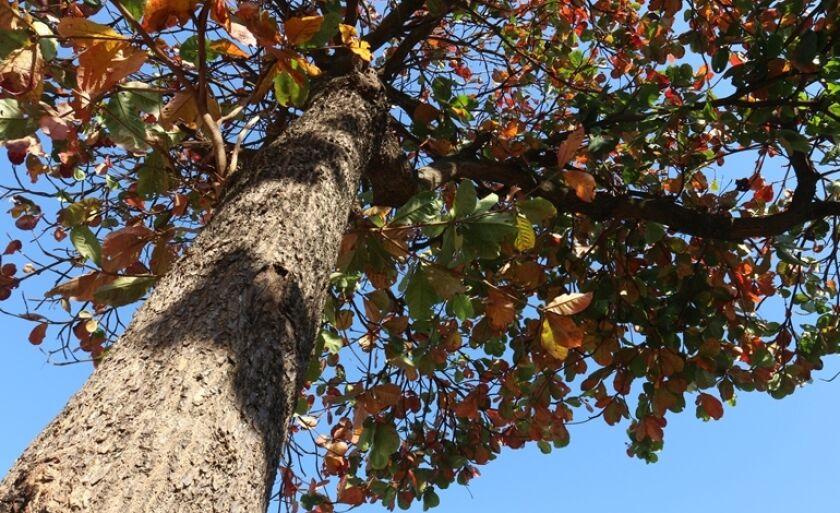 A árvore de Sete Copas é o nome popular da espécia Terminalia catappa que, com ampla copa, fornece sombra  farta