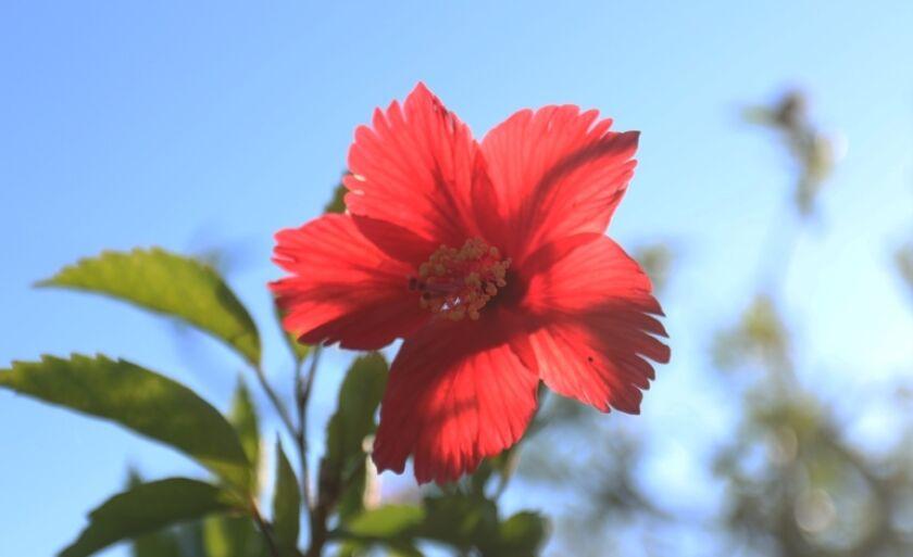 Flor colorindo a manhã das ruas de Três Lagoas