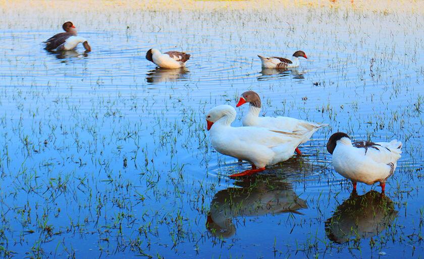 Patos não perdem tempo e já entram no clima de fim de semana, na Lagoa Maior, em Três Lagoas