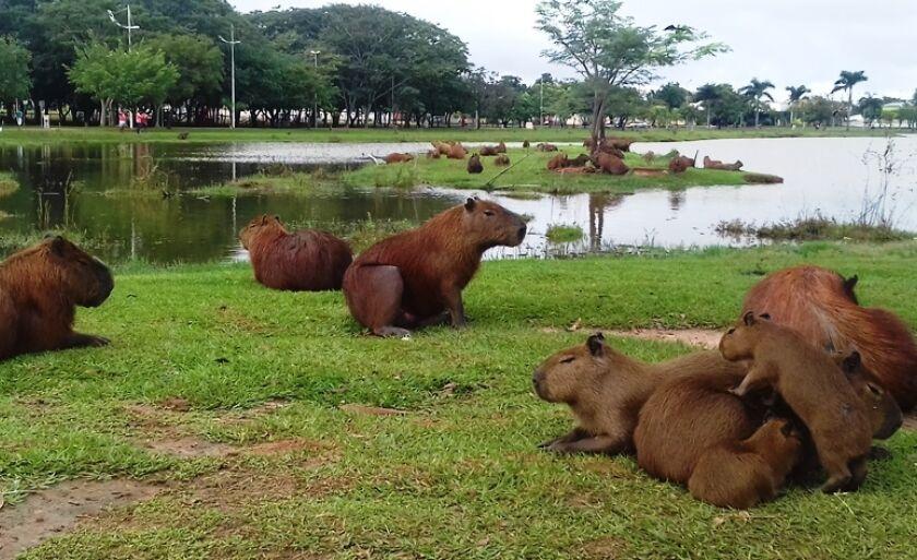 Levantamento revela a existência de 158 capivaras na Lagoa Maior em Três Lagoas
