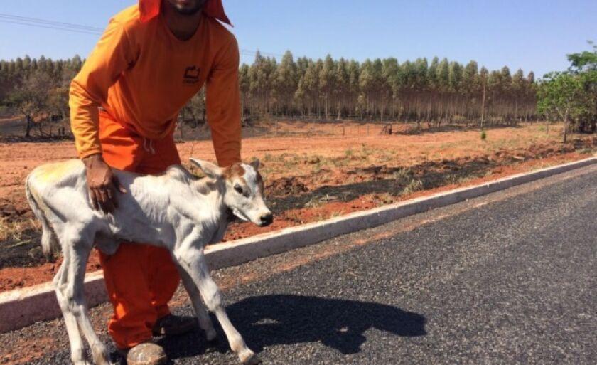 Bezerro foi resgatado por trabalhadores na manhã desta sexta-feira (15) e levado para Ribas do Rio Pardo