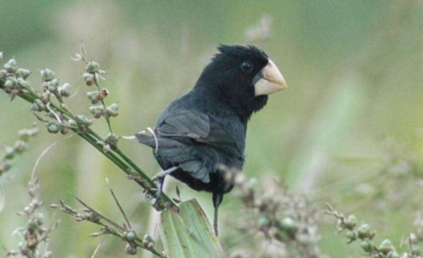 Pássaro bicudo-do-norte também é conhecido por bicudo-preto e bicudo-verdadeiro