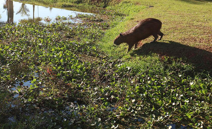 Capivara na vegetação da Lagoa Maior indo mergulhar durante a manhã desta segunda-feira