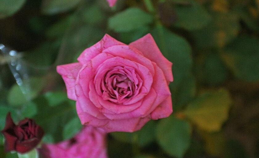 Em homenagem ao mês mais cor-de-rosa do ano, o 'Outbro Rosa', uma linda rosa