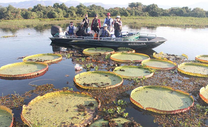 Vitória régia no Pantanal, atração na Serra do Amolar, em Corumbá