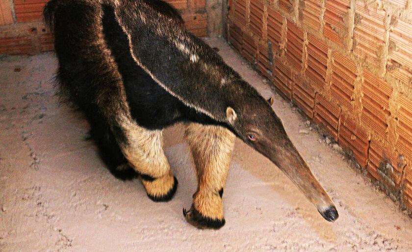 Com 61 cm, a língua do tamanduá pode chicotear um formigueiro até 150 vezes, por minuto