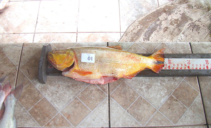 Pescado estava fora da medida permitida pela legislação
