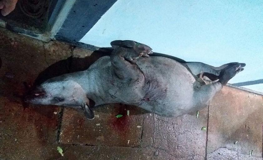 Polícia encontrou em posse dos caçadores uma anta, da espécie Tapirus terrestris
