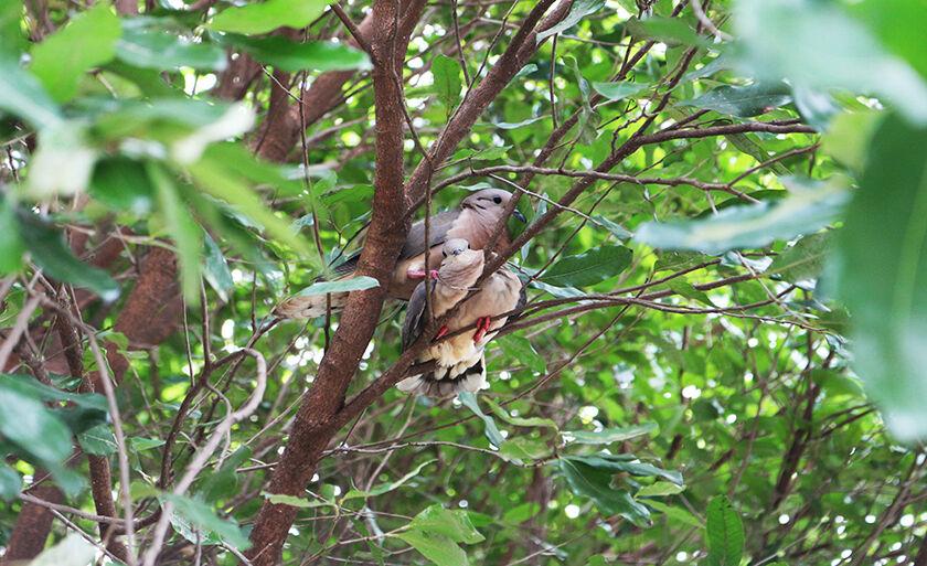Pássaros columbina - da família dos pombos - chama a atenção em árvores