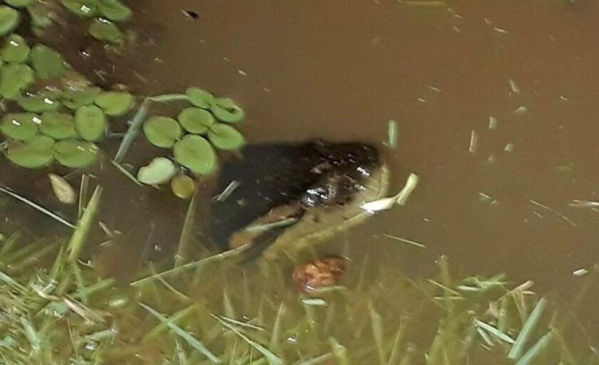 Sucuri reapareceu no lago no final da tarde de quarta-feira (10)