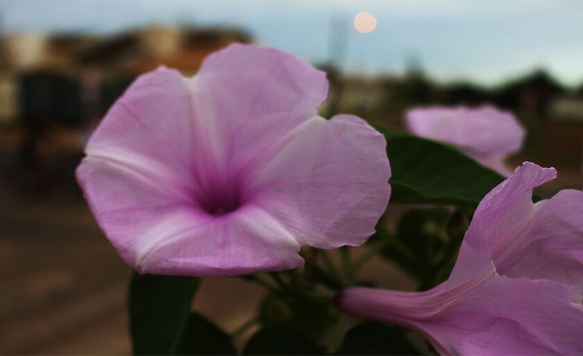 Flor rosa alegra a manhã desta quinta-feira (15), em Três Lagoas