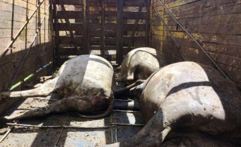 Sete animais morreram devido ao aperto no caminhão