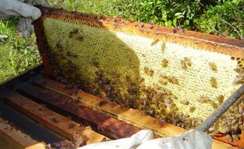 Estado produz 52 quilos de mel- três vezes mais que a média nacional