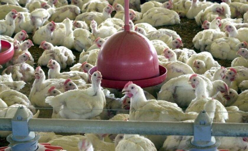 Salmonella foi encontrada em carnes de aves de capoeira