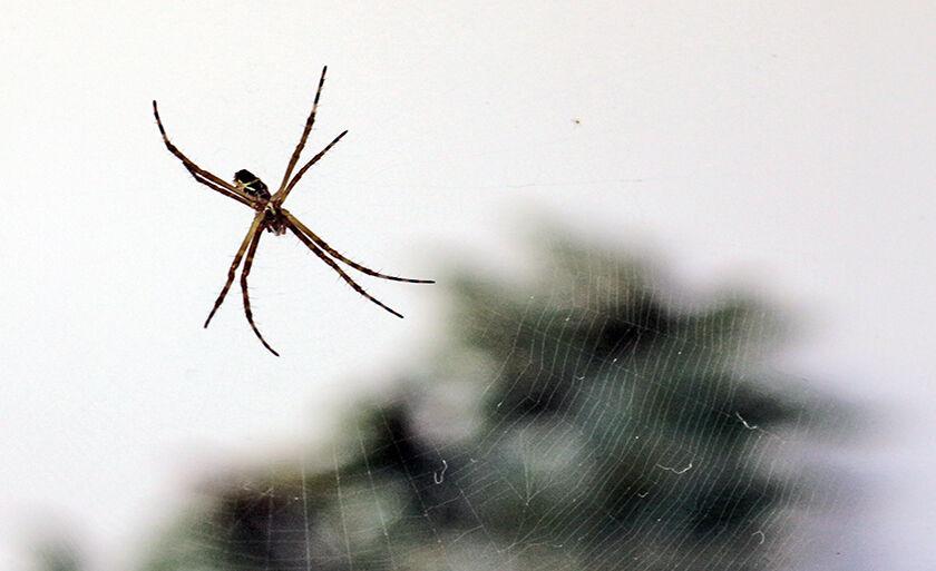 Aranha construindo sua teia...Quem será capturado nesta quinta?