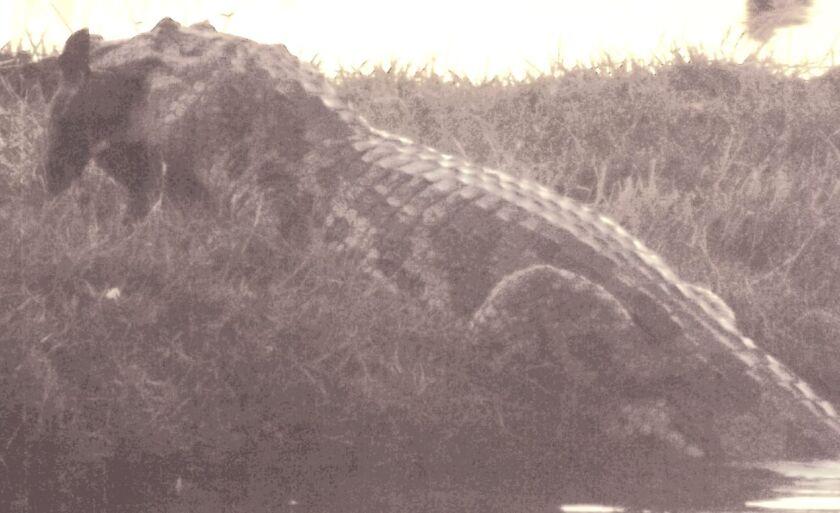 Jacaré é fotografado à distância, e contra o Sol, após atacar cãozinho