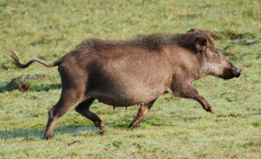 Animal representa ameaça para culturas em diversas regiões do país, mas matar é proibido