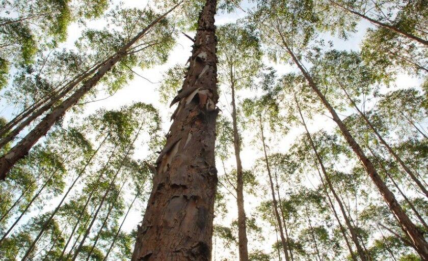 Três Lagoas é a maior produtora do país, com 267.993 pés de eucalipto plantados