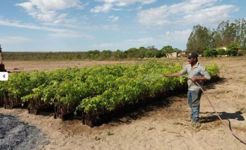 Crotalária faz parte da produção de seringueira em Paranaíba
