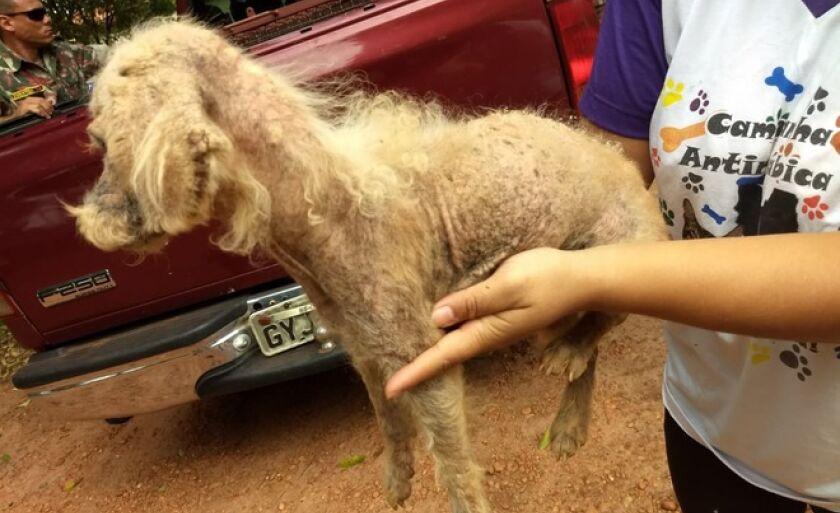 Cadela foi encontrada debilitada, sem pelo em partes do corpo, com sarna, sem água e comida
