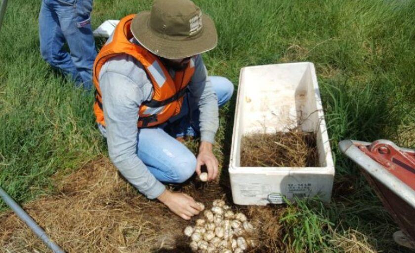 Ovos foram retirados de dois ninhos que estavam em uma ilha de vegetação nativa