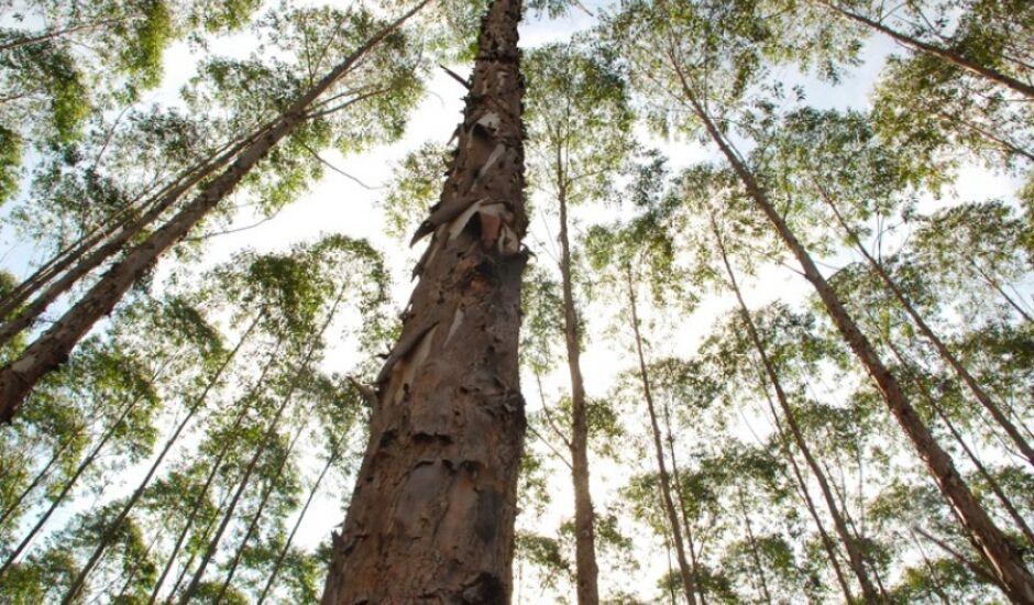 Três Lagoas lidera o ranking nacional de maior valor de produção na silvicultura