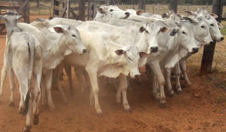 Lotes de bovinos machos e fêmeas são avaliados em R$ 38 mil