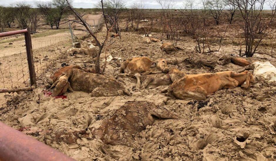 500 mil bovinos morreram