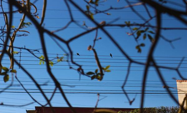 Pássaros em fio elétrico vistos entre galhos de árvore