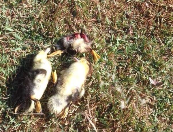 Na postagem a mulher cobrou do poder público uma medida quanto aos recentes casos envolvendo as aves